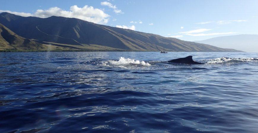 Olowalu Group Whale Watch & Snorkel Kayaking Tour
